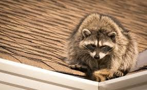 Raccoons In Backyard Getting Rid Of Raccoons Thriftyfun
