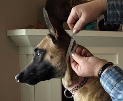 belgian shepherd ears stand up sizing your collar u2014 keeper collars