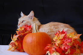 five tips to keep your cat happy at thanksgiving pet