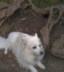 american eskimo dog small white dog diary online december 2012