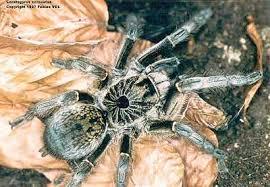 2013 tarantula hub