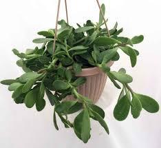 Hanging Plant 13 Best Indoor Hanging Plants Livinghours