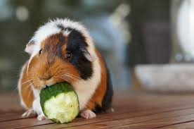 5 most common guinea pig diseases