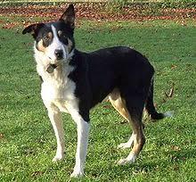 australian shepherd mastiff mix collie wikipedia