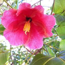 puerto rico maga flor de maga thespesia grandiflora http en