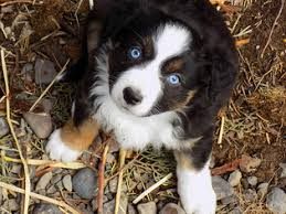 south carolina australian shepherd rescue view ad australian shepherd puppy for sale oregon prineville usa