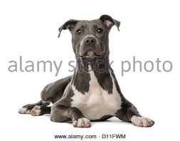 american pitbull terrier 10 months american staffordshire terrier puppy portrait stock photos