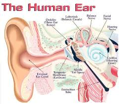 Photos Of Human Anatomy Best 20 Human Ear Ideas On Pinterest Ear Anatomy Ear Anatomy