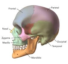 Floor Of The Cranium Brain Anatomy Goodman Campbell Brain And Spine