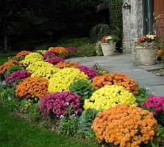Fall Garden Plants Texas - dendranthema x grandiflorum mums bloom in fall in fl fl
