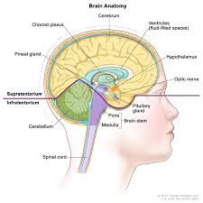 Gross Brain Anatomy Anatomy Of Central Nervous System Overview Of The Central Nervous