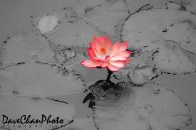 Lotus Flower In Muddy Water - lotus in muddy water scholar monk