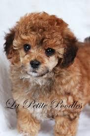 Indigo Dog House 367 Best Cute Toy Poodle Doggies Images On Pinterest Toy Poodles