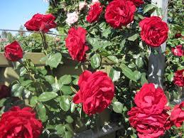 dublin bay climbing rose bare rooted hello hello plants u0026 garden