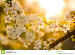 white cherry blossom tree stock photography image 30879862