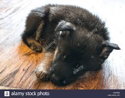 german shepherd puppy sleeping stock photo royalty free image