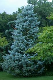 native plants of tennessee abies concolor one of the best firs for tennessee due to heat