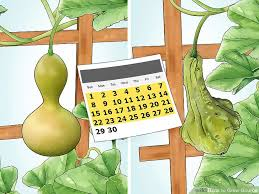 how to grow gourds with pictures wikihow