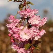 flowering cherry trees prunus mail order trees
