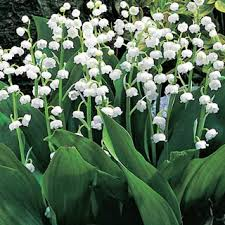 Fragrant Flowers For Garden - fragrant flowers archives michigan bulb blog michigan bulb blog