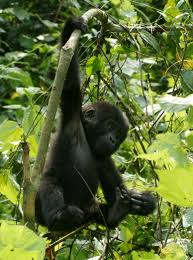 young gorilla hanging from a tree u2013 a cute a day