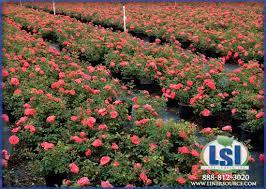 drift roses drift apricot liner source eustis fl shrubs flowers