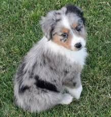 owning a australian shepherd australian shepherd puppy if he was mine his name would be