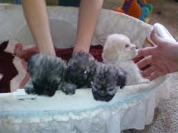 bichon frise shih tzu mix for sale bichon frise puppies sale classified by claysmama08 bichon and