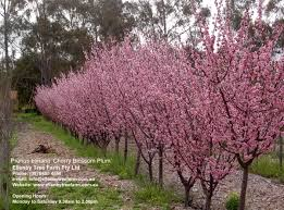 prunus blireana cherry blossom plum ellenby tree farm