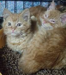 twin kittens from the pallet colony adopted together cats in my