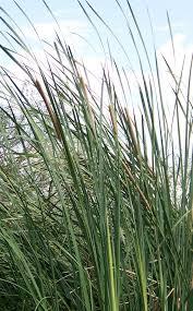native plants in arizona cattail u2013 arizona bushman