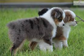 mini australian shepherd 5 months 71 most cute australian shepherd puppies pictures and photos