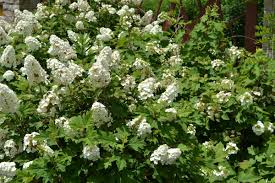 native plants in pennsylvania a guide for selecting shrubs for pennsylvania landscapes