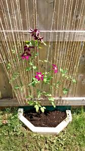 dirty deeds starring a clematis vine a makeshift trellis and a