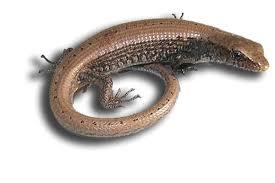Seeking Lizard Cast Alligator Lizards May Live In Your Yard Recreation
