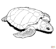 turtle coloring page itgod me
