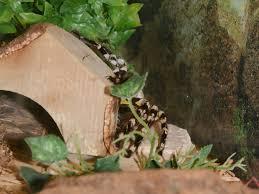 the zoo indian ornamental tarantula