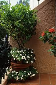 release trees in pots bring life to courtyards and balconies