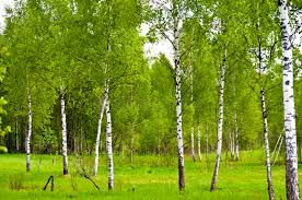 a of birch trees with fresh leaves stock photo