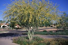 tucson native plants native plant landscaping the palo verdes the arid land