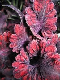 How To Grow Coleus Plants by Growing A Red Velvet Coleus Https Www Houseplant411 Com
