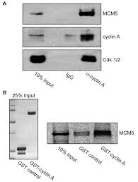 the cyclin a centrosomal localization sequence recruits mcm5 and