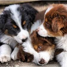 australian shepherd vs blue heeler 106 best puppies images on pinterest animals australian