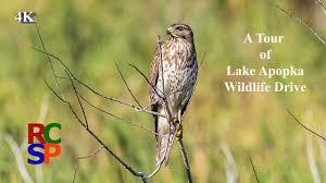 a tour of lake apopka wildlife drive in 4k youtube