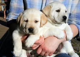 Training A Guide Dog For The Blind 58 Best Southeastern Guide Dogs 101 Images On Pinterest Guide