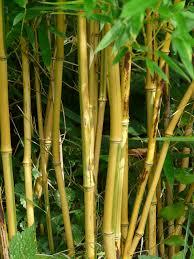 native plant nurseries melbourne bamboo plants melbourne bamboo plants hq