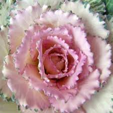 ornamental kale crane pink seeds 2bseeds