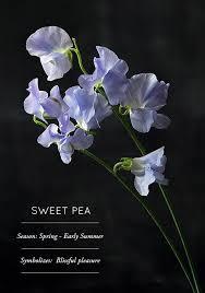 Sweet Pea Images Flower - best 25 sweet pea flowers ideas on pinterest sweet peas pea