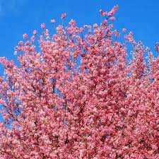 first cherry blossom festival of india kick starts in shillong 7