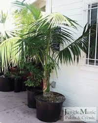 live indoor plants live indoor palm trees palms as house plants culture of palm